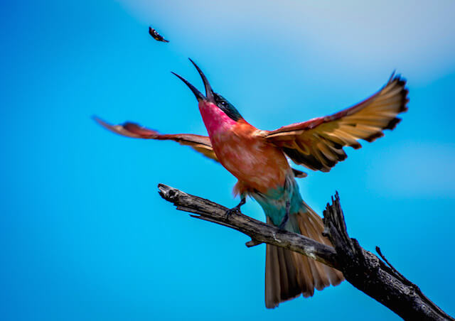 carmine bee eater catching a bug