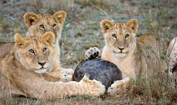 lions trying to eat a pangolin