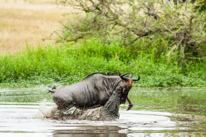 a crocodile attacks a wildebeest at Londolozi