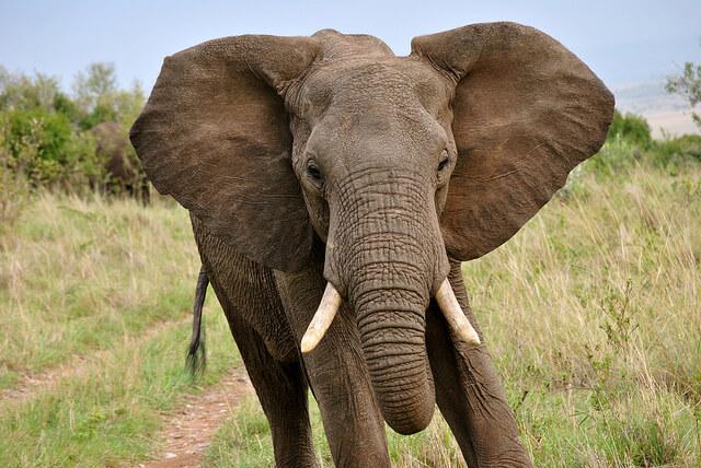 elephant maasai mara