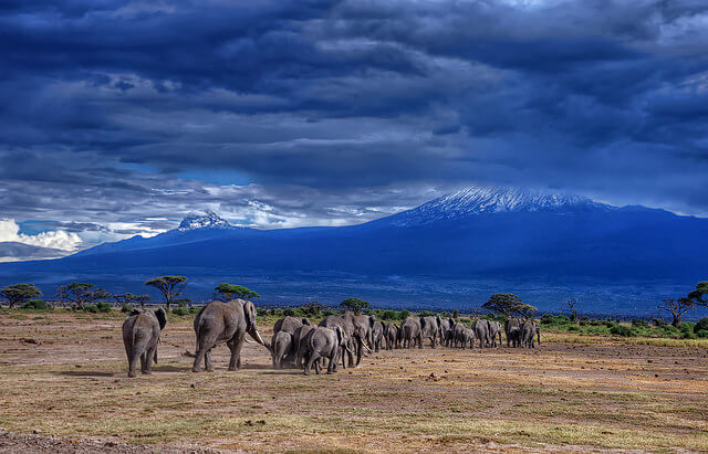 elephants walking towards kilimanjaro