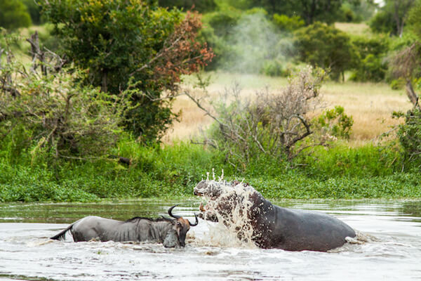 hippo fighting croc at londolozi