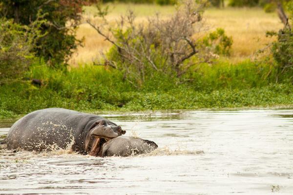 hippo kills wildebeest at londolozi.