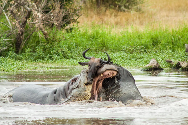 the battle between the hippo and the croc continues.
