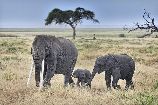 mother elephant and calves in amboseli national park.