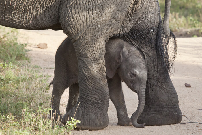 baby elephant taking its first steps at londolozi