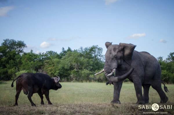 elephant and buffalo battle at Sabi Sabi