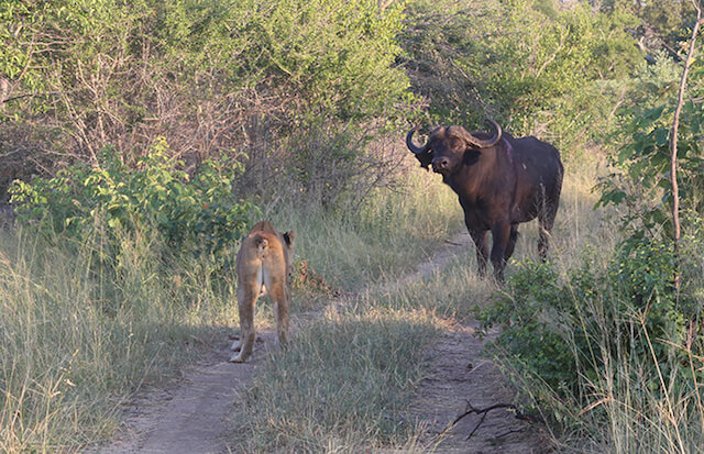 buffalo faces down lion at Londolozi.