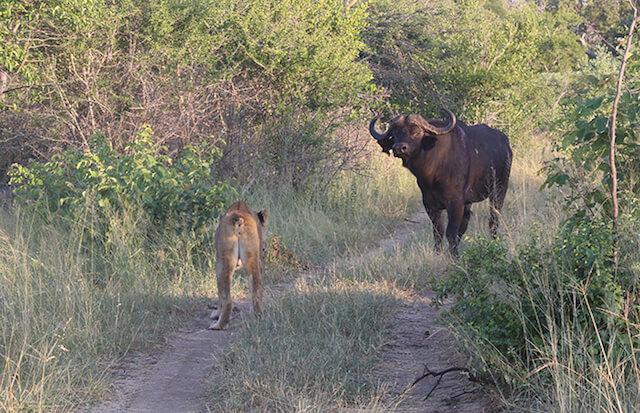buffalo faces down lion at Londolozi.