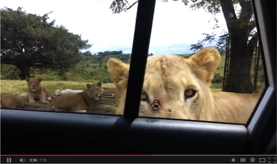 lion opens car door with teeth