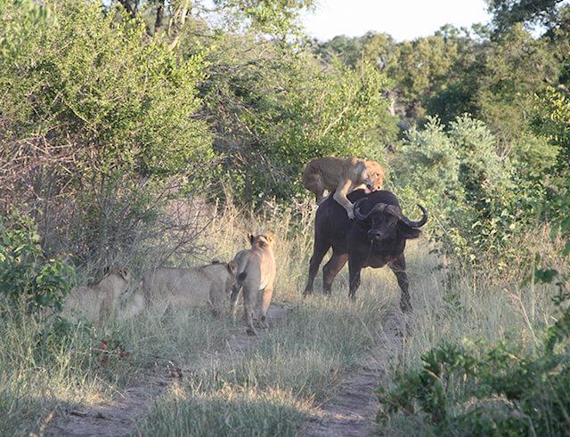 lions attack buffalo at londolozi.