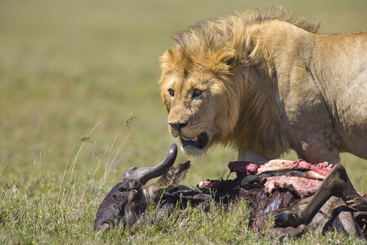lion eating wildebeest tanzania