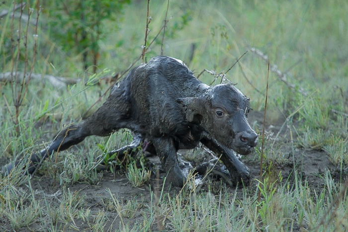 buffalo-birth at londolozi