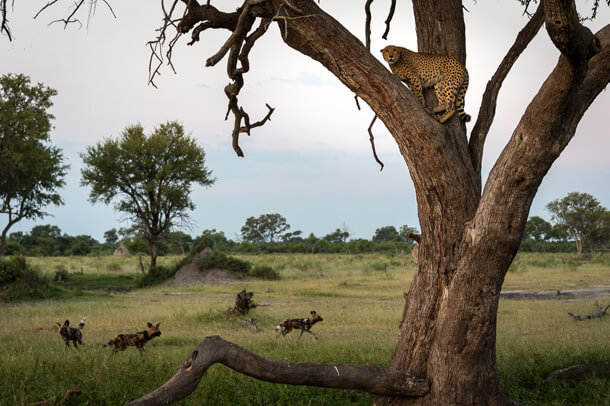 wild dogs tree a cheetah in the okavango delta