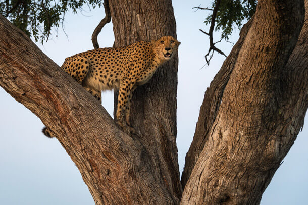 Cheetah in a tree near Vumbura Plains