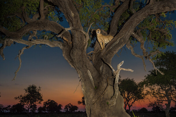 cheetah in a tree at dusk, botswana
