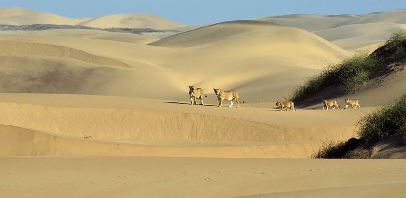 lions on dune namibia.
