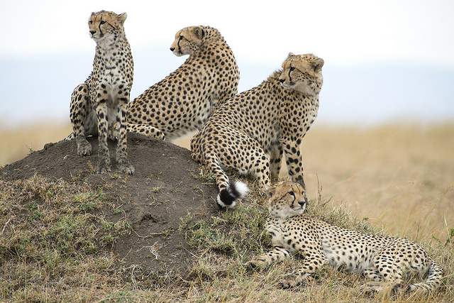 coalition of cheetahs