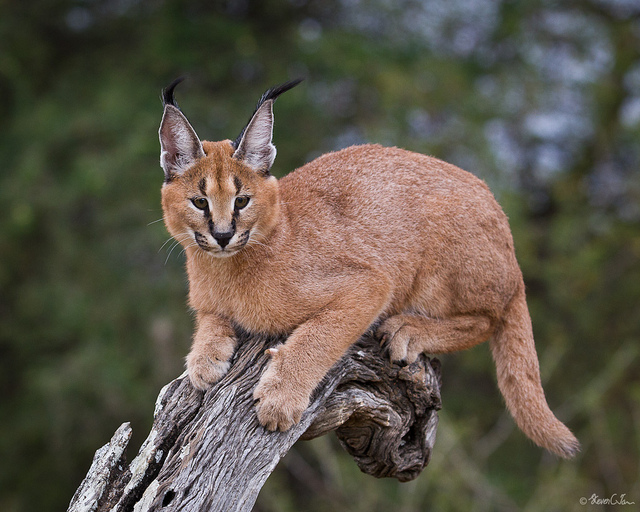Caracal climb by Steven Tan is licensed by
