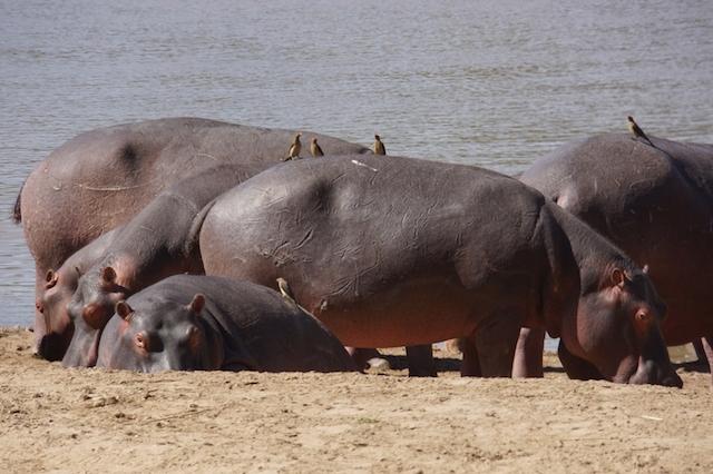 raft of hippos