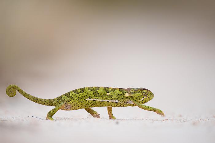 chameleon africa