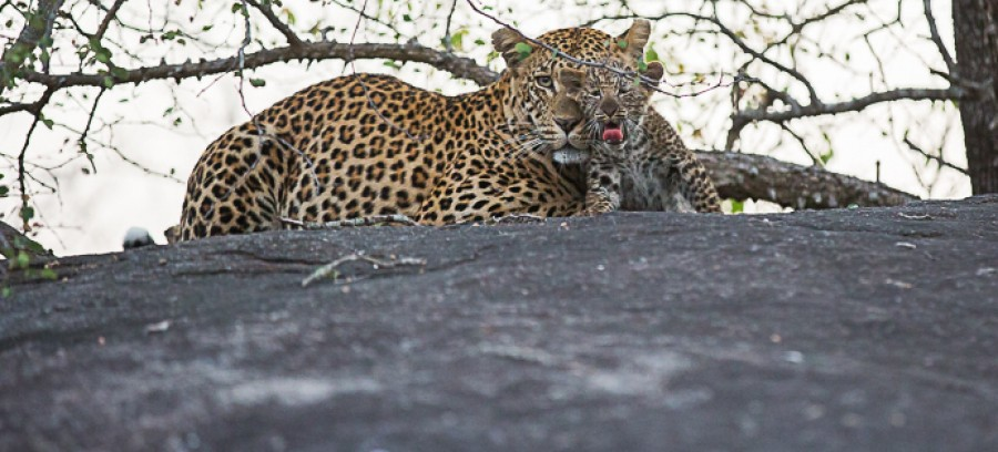 leopard cubs londolozi