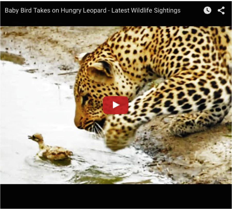 leopard vs chick