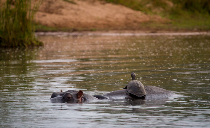 terrapin catches a ride on a hippo