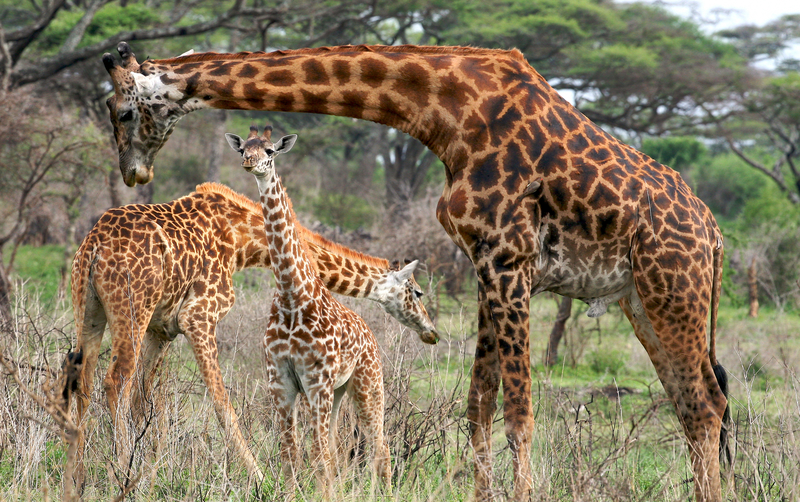Giraffes graze Tanzania baby giraffe family
