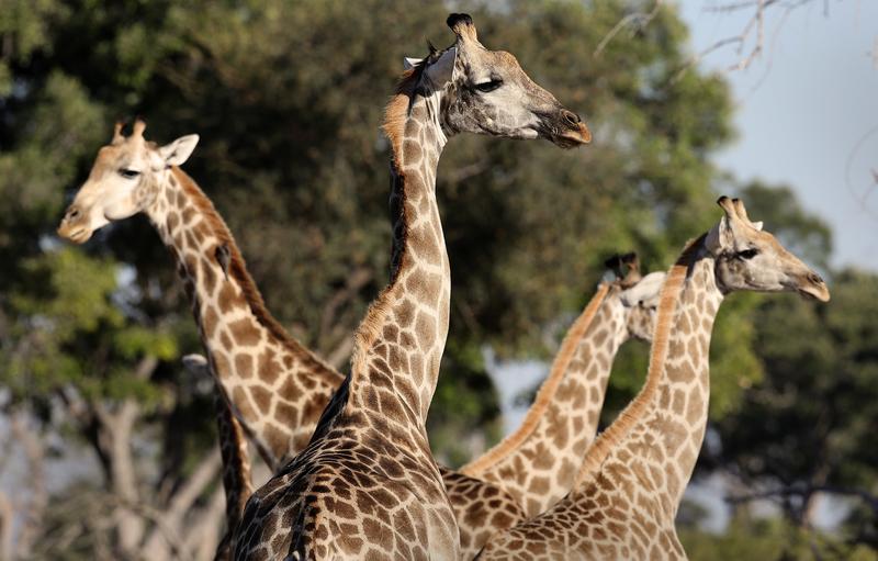 giraffes botswana close up family group