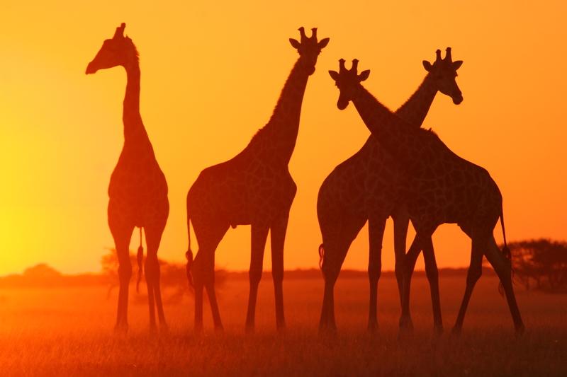 Giraffes at sunset on the Kalahari, Botswana