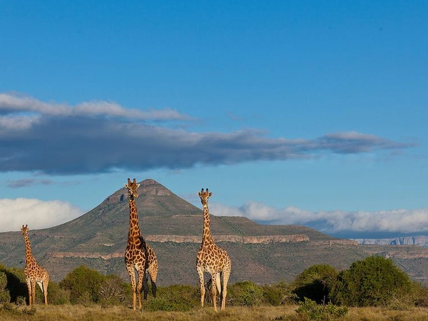 Wild Giraffes in South Africa