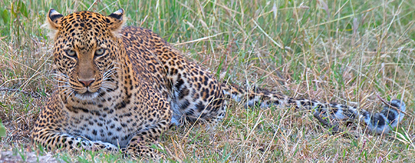 Mother Leopard in Kenya