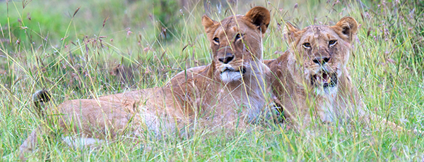 Lionesses on a Kenya Safari