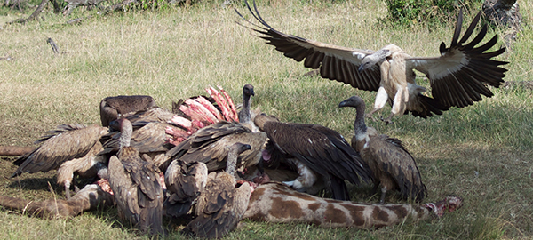 Vultures on a Kenya Safari