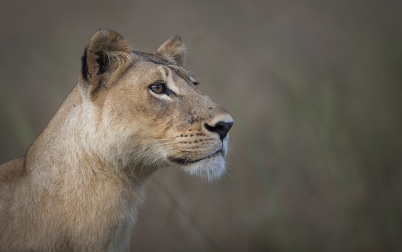 A lioness watches the Great Migration in Tanzania
