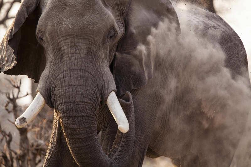 A bull elephant throws dust on himself