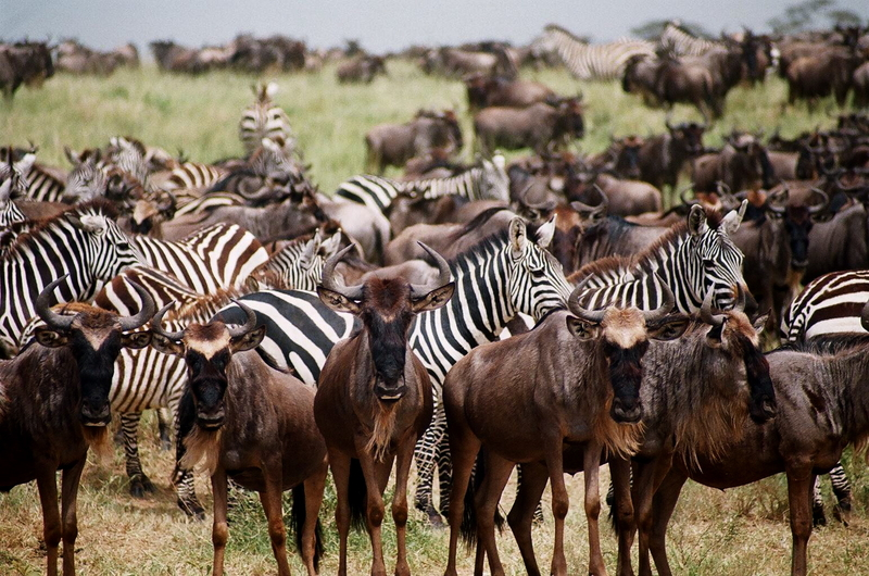 Wildebeest and zebras traverse the plains during the Great Migration
