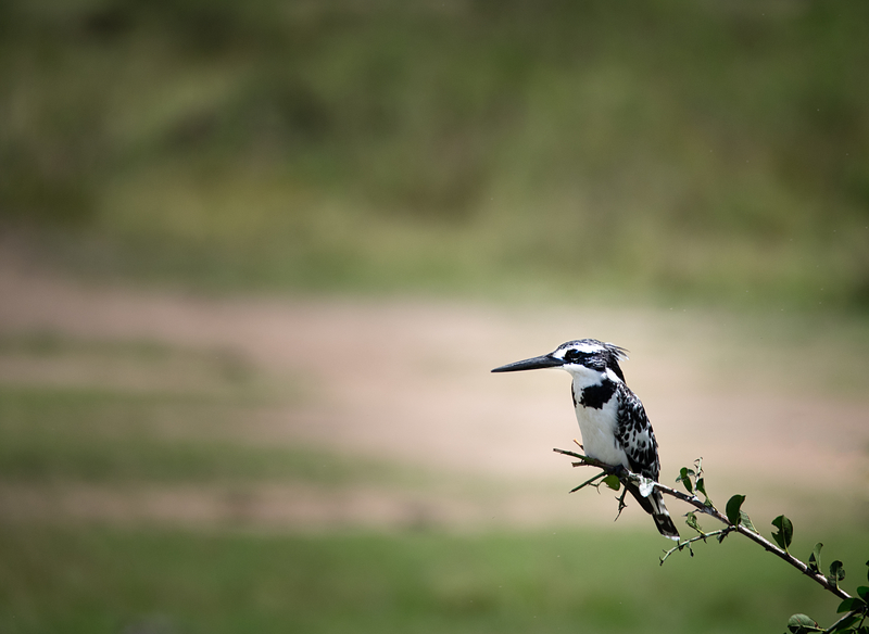 A black and white pied kingfisher perches on a branch