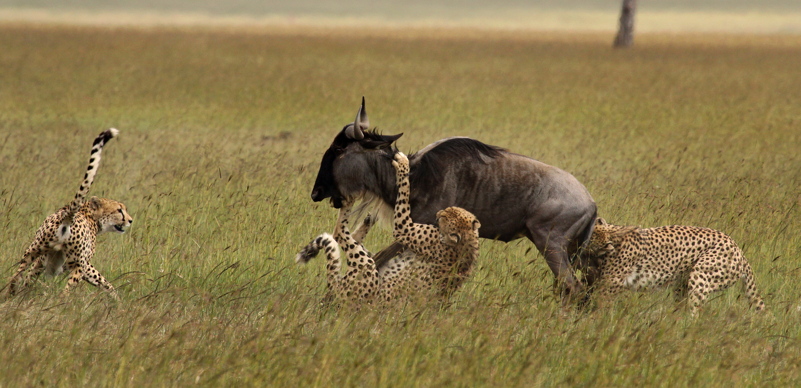 Cheetahs catch a wildebeest on the Serengeti