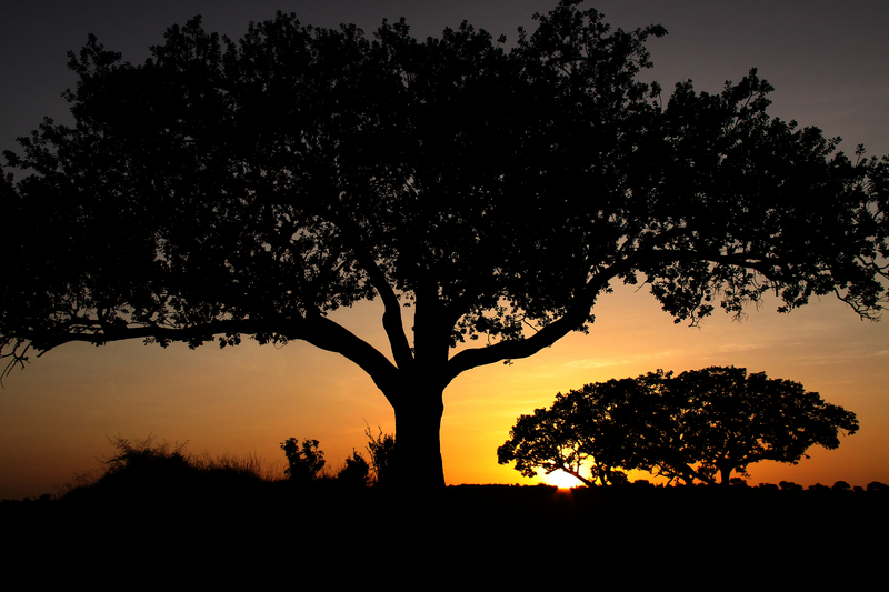 acacia trees silhouetted against a Tanzania sunrise