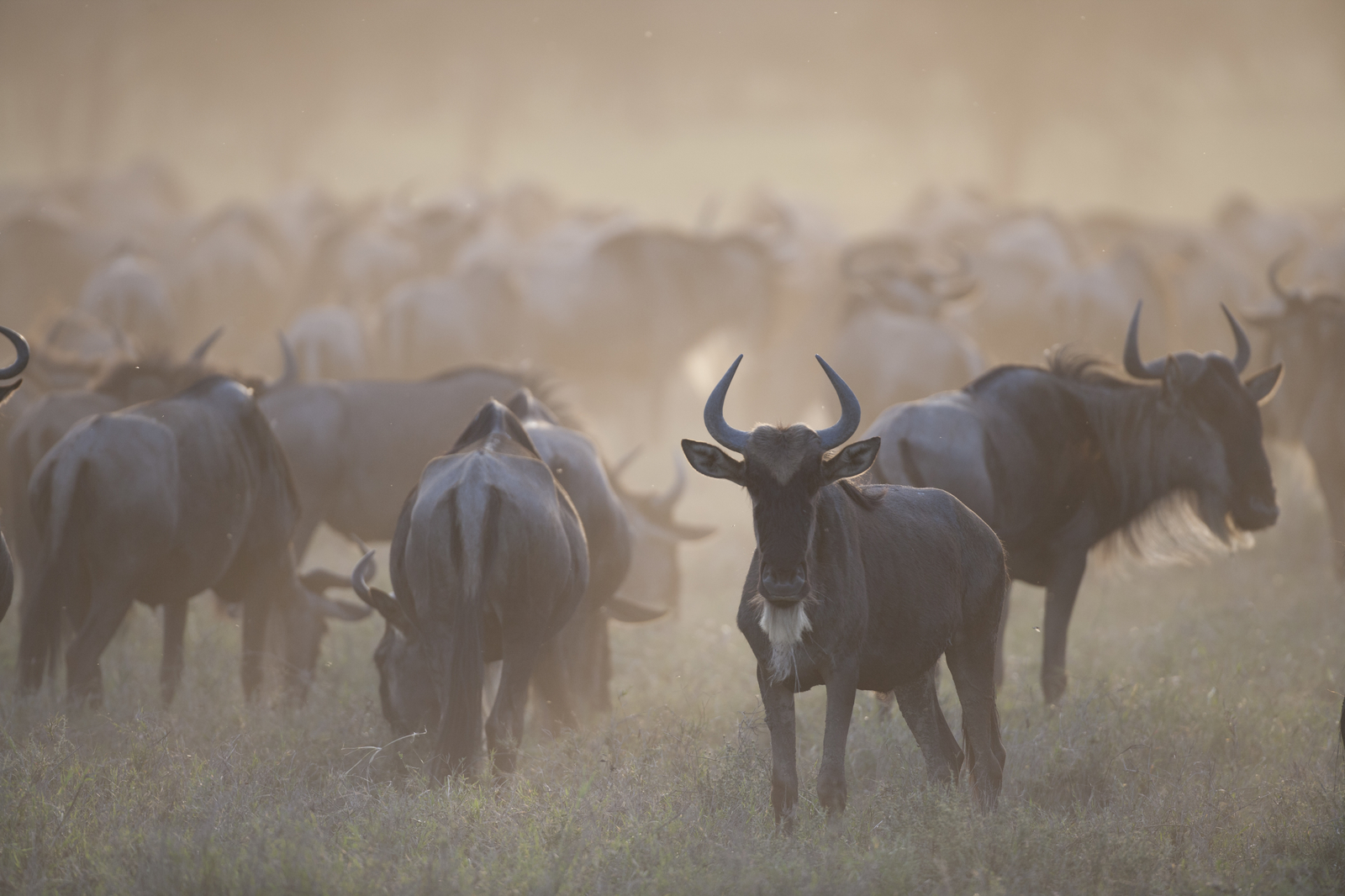 Wildebeest graze on new grass during the Great Migration