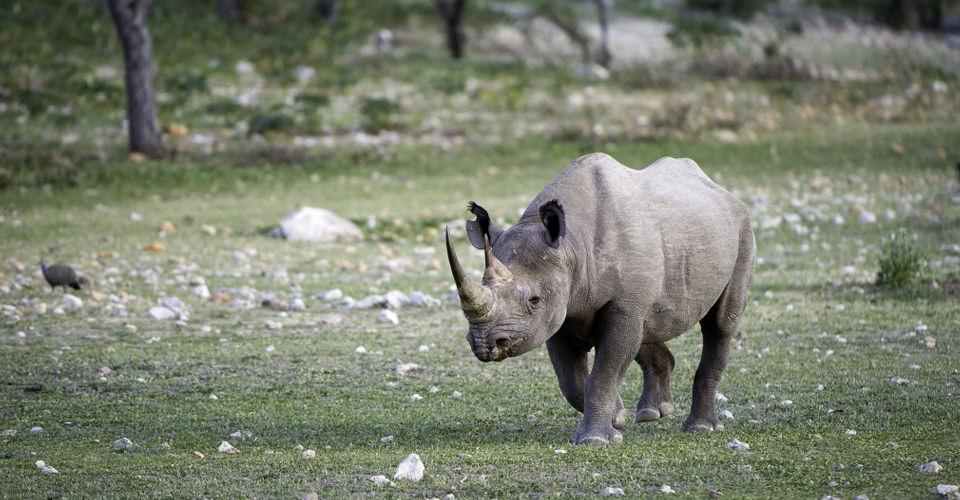 Rhino in Nambia