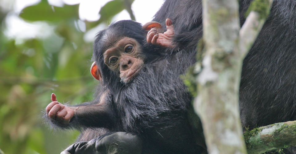 Wild Chimpanzees in Africa