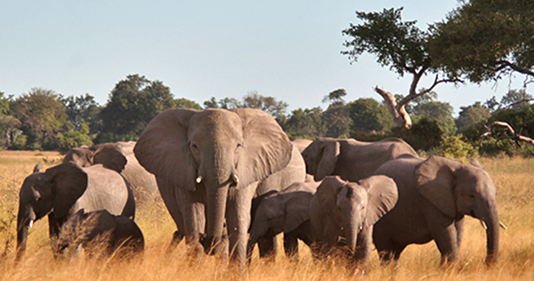 Elephant Herd in Botswana
