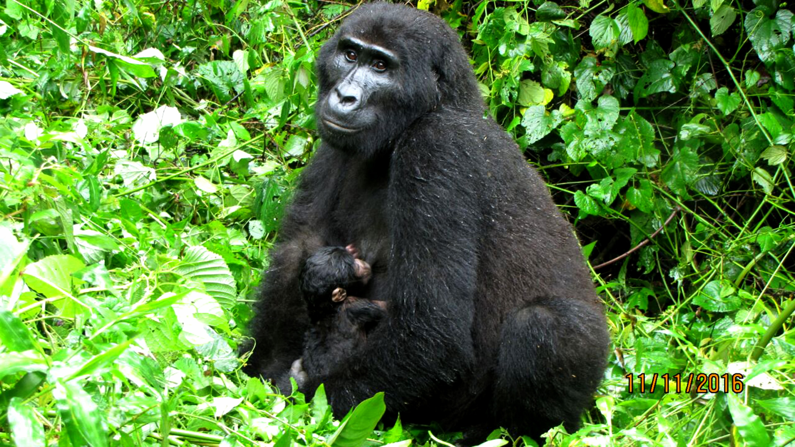 baby-gorilla-born-2016-11-11-at-bwindi-national-park02