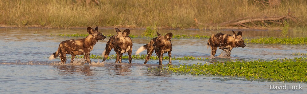 7 Fascinating Facts About African Wild Dogs, aka 'Painted