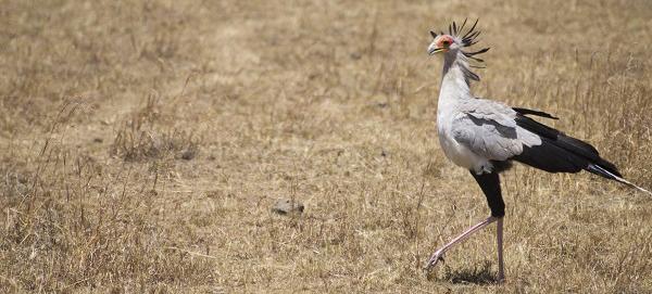 Secretary Bird in Kenya