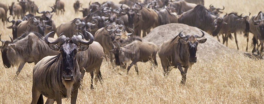 Six Facts About the Wildebeest Migration Across the Serengeti