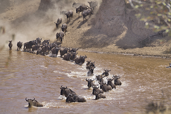 Wildebeest crossing a river